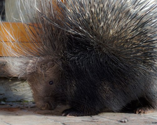 porcupine-profile-1-2